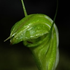 Pterostylis obtusa (Blunt-tongue Greenhood) at Bugong National Park - 20 Apr 2009 by AlanS