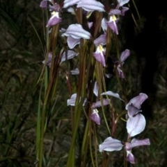 Diuris punctata (Purple Donkey Orchid) at Nowra, NSW - 4 Oct 2011 by AlanS