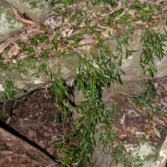Dendrobium pugioniforme (Dagger Orchid) at Bomaderry Creek - 11 Apr 2013 by AlanS