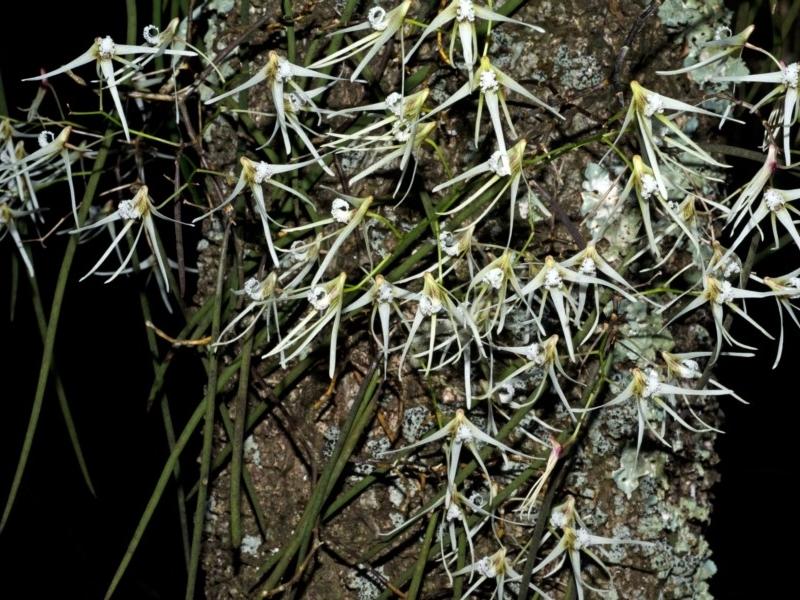 Dendrobium teretifolium at Comerong Island Nature Reserve - 16 Aug 2012