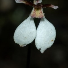 Eriochilus cucullatus (Parson's Bands) at Bomaderry Creek - 1 May 2009 by AlanS