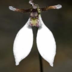 Eriochilus autumnalis at Cambewarra Range Nature Reserve - 13 Mar 2006 by AlanS