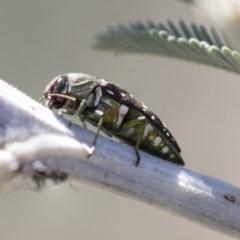 Diphucrania leucosticta (White-flecked acacia jewel beetle) at Mulligans Flat - 22 Feb 2019 by AlisonMilton