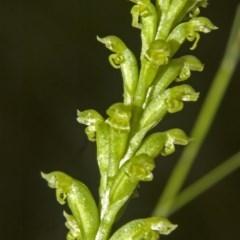 Microtis unifolia (Common Onion Orchid) at Jerrawangala National Park - 17 Nov 2008 by AlanS