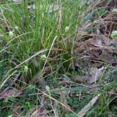 Pterostylis nutans (Nodding Greenhood) at Bundanon Trust - 18 Aug 2015 by AlanS