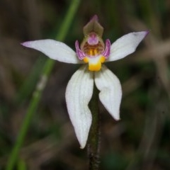Caladenia alata (Fairy Orchid) at Bamarang Nature Reserve - 25 Aug 2013 by AlanS