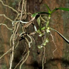 Plectorrhiza tridentata (Tangle Orchid) at Bomaderry Creek - 31 Aug 2013 by AlanS