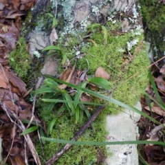 Plectorrhiza tridentata (Tangle Orchid) at Bomaderry Creek - 11 Apr 2013 by AlanS