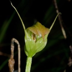 Pterostylis acuminata (Pointed Greenhood) at Bugong National Park - 23 Apr 2016 by AlanS