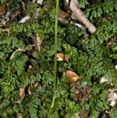 Pterostylis erecta (Erect Maroonhood) at Bugong National Park - 5 Sep 2010 by AlanS
