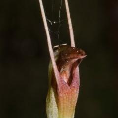 Pterostylis erecta (Erect Maroonhood) at Bugong National Park - 15 Sep 2016 by AlanS