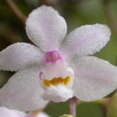 Sarcochilus hillii (Morrison's Tree-orchid, or Myrtle Bells) at Bugong National Park - 22 Dec 2004 by AlanS