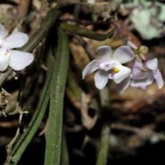 Sarcochilus hillii (Morrison's Tree-orchid, or Myrtle Bells) at Bugong National Park - 17 Dec 2016 by AlanS