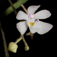 Sarcochilus hillii (Morrison's Tree-orchid, or Myrtle Bells) at Bugong National Park - 29 Nov 2014 by AlanS