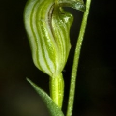 Pterostylis parviflora (Tiny Greenhood) at Bomaderry Creek - 1 May 2009 by AlanS