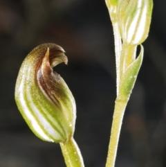 Pterostylis parviflora (Tiny Greenhood) at Cambewarra Range Nature Reserve - 1 Mar 2006 by AlanS