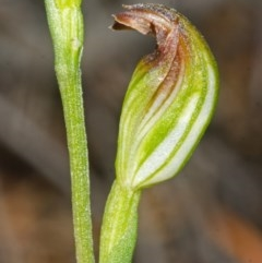 Pterostylis sp. (Greenhood species) at Booderee National Park - 23 Apr 2015 by AlanS