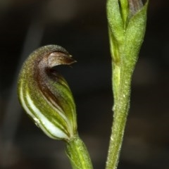Pterostylis sp. (Greenhood species) at Cambewarra Range Nature Reserve - 14 Feb 2012 by AlanS