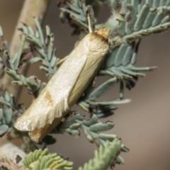 Oecophorinae (subfamily) (Unidentified Oecophorinae concealer moth) at Mulligans Flat - 22 Feb 2019 by AlisonMilton