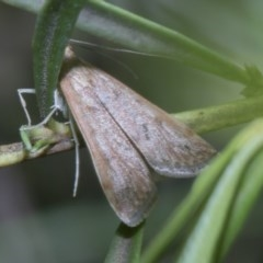 Uresiphita ornithopteralis (Tree Lucerne Moth) at ANBG - 18 Feb 2019 by Alison Milton