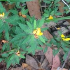 Pultenaea villifera var. villifera (Yellow bush-pea) at Booderee National Park - 24 Jan 2019 by MeenaS