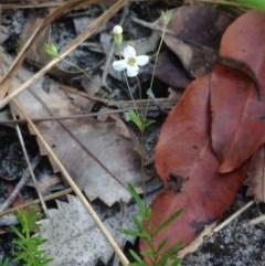 Mitrasacme polymorpha (Varied Mitrewort) at Booderee National Park - 26 Jan 2019 by MeenaS