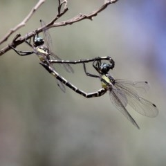 Parasynthemis regina (Royal Tigertail) at Mulligans Flat - 24 Feb 2019 by HarveyPerkins