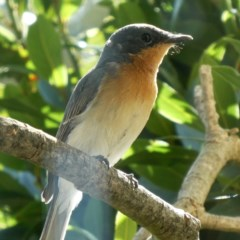 Myiagra rubecula (Leaden Flycatcher) at Wandiyali-Environa Conservation Area - 25 Feb 2019 by Wandiyali
