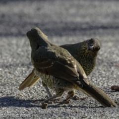 Ptilonorhynchus violaceus (Satin Bowerbird) at Hughes, ACT - 22 Feb 2019 by BIrdsinCanberra