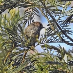 Acanthiza pusilla (Brown Thornbill) at Gibraltar Pines - 25 Feb 2019 by RodDeb