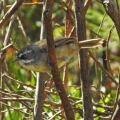 Sericornis frontalis (White-browed Scrubwren) at Gibraltar Pines - 25 Feb 2019 by RodDeb
