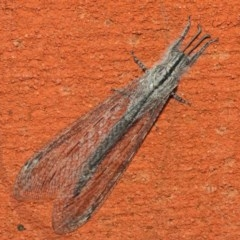 Heoclisis fundata (Antlion lacewing) at ANBG - 26 Feb 2019 by TimL