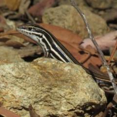 Ctenotus taeniolatus (Copper-tailed Skink) at Hackett, ACT - 27 Feb 2019 by KumikoCallaway