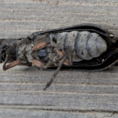 Rhipicera (Agathorhipis) femorata (Feather-horned beetle) at Deua National Park (CNM area) - 26 Feb 2019 by JudithRoach