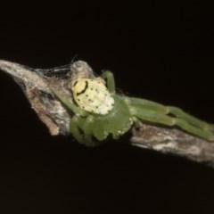 Lehtinelagia sp. (genus) (Flower Spider or Crab Spider) at Higgins, ACT - 26 Feb 2019 by Alison Milton