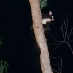 Petauroides volans (Greater Glider) at Wombeyan Karst Conservation Reserve - 26 Feb 2019 by DPRees125