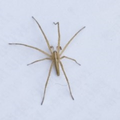 Thasyraea lepida (Prowling spider) at Higgins, ACT - 10 Jan 2019 by Alison Milton