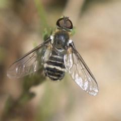 Villa sp. (genus) (Unidentified Villa bee fly) at The Pinnacle - 2 Jan 2019 by Alison Milton