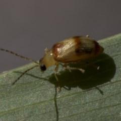Monolepta sp. (genus) (Leaf beetle) at Higgins, ACT - 23 Feb 2019 by Alison Milton