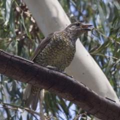 Ptilonorhynchus violaceus (Satin Bowerbird) at Hawker, ACT - 19 Jan 2019 by Alison Milton