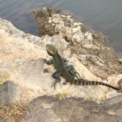 Intellagama lesueurii howittii (Gippsland Water Dragon) at Coree, ACT - 27 Feb 2019 by JaneR