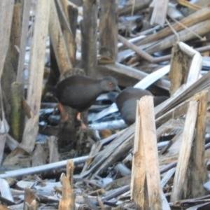 Zapornia tabuensis at Jerrabomberra Wetlands - 9 Feb 2019