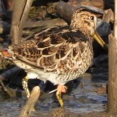 Gallinago hardwickii (Latham's Snipe) at Jerrabomberra Wetlands - 8 Feb 2019 by Christine