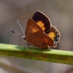 Paralucia aurifer (Bright Copper) at Wombeyan Karst Conservation Reserve - 28 Feb 2019 by DPRees125