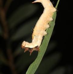 Neola semiaurata (Wattle Moth) at Guerilla Bay, NSW - 26 Feb 2019 by jbromilow50