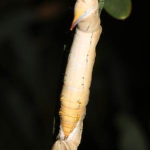 Neola semiaurata at Guerilla Bay, NSW - 26 Feb 2019
