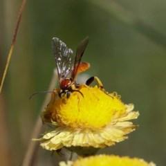 Ichneumonidae sp. (family) (Unidentified ichneumon wasp) at Namadgi National Park - 25 Feb 2019 by DPRees125