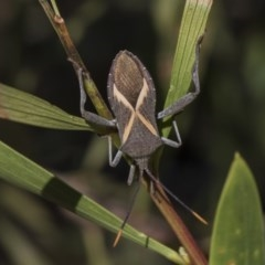 Mictis profana (Crusader bug) at Higgins, ACT - 23 Feb 2019 by Alison Milton