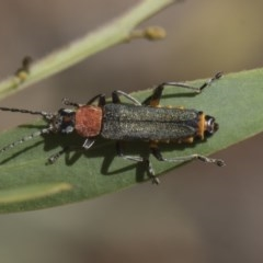 Chauliognathus tricolor (Tricolor soldier beetle) at Higgins, ACT - 23 Feb 2019 by Alison Milton