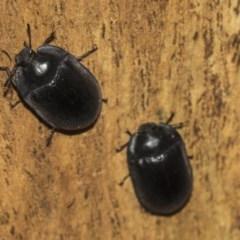 Pterohelaeus striatopunctatus (Darkling beetle) at Higgins, ACT - 24 Feb 2019 by Alison Milton